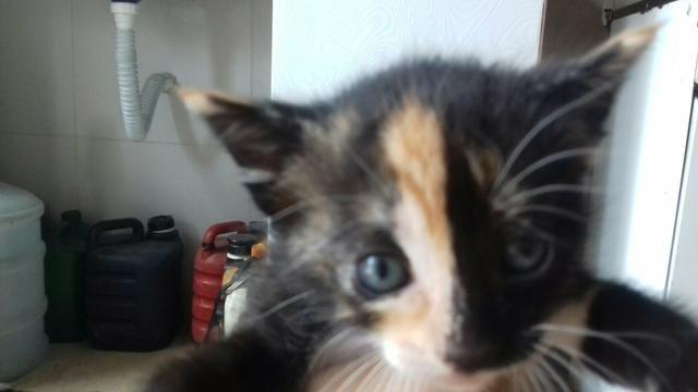 Doacao de gatos mestiços de olhos azuis