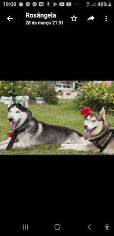 Rusks Siberianos machos disponíveis  pra  namorar  - Foto 3