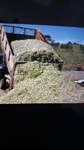 Vende silagem de milho
