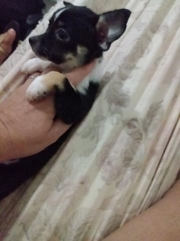 Chihuahua fêmea 1.500 3× sem juros - Foto 3