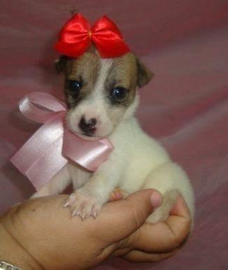Chihuahua x pinscher só 150