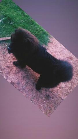 Vende-se este cachorro - Foto 2