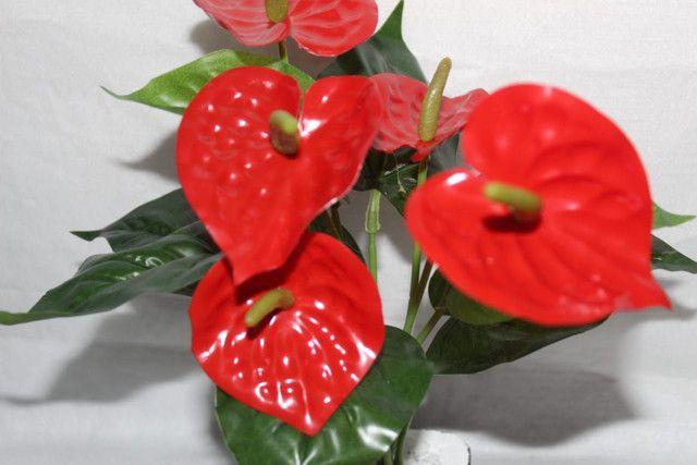 Planta antúrio Vermelha ( Envio Correios ) - Foto 2