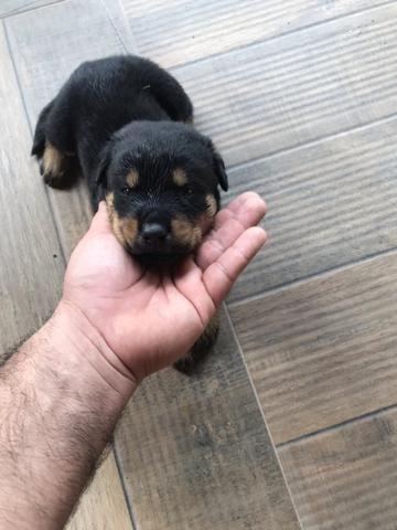 Cães - Foto 3