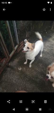 Chihuahua fêmea 1.500 3× sem juros - Foto 6