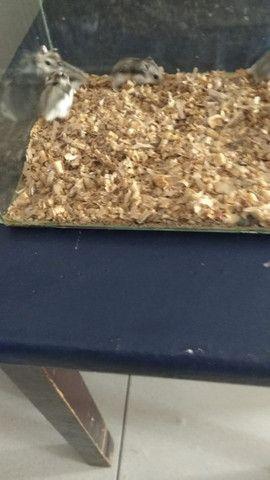 Vendo filhote de hamster - Foto 4