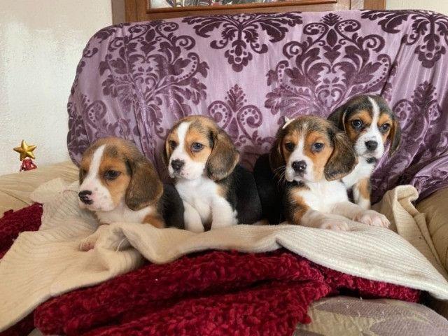 Beagle filhotes com pedigree e garantias  - Foto 5
