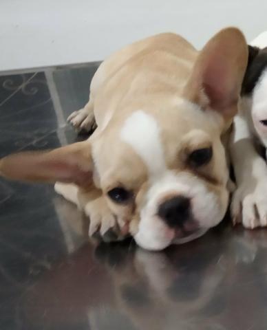 Duas fêmeas de Bulldogue francês disponíveis para venda - Foto 2