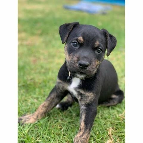 Rottweiler x labrador só 100 - Foto 2