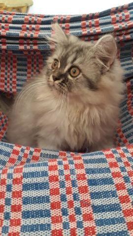 Vendo filhote de Gato Persa - Foto 2