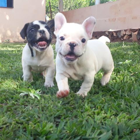 Bulldog Frances parcelamos em até 12x 198 - Foto 3