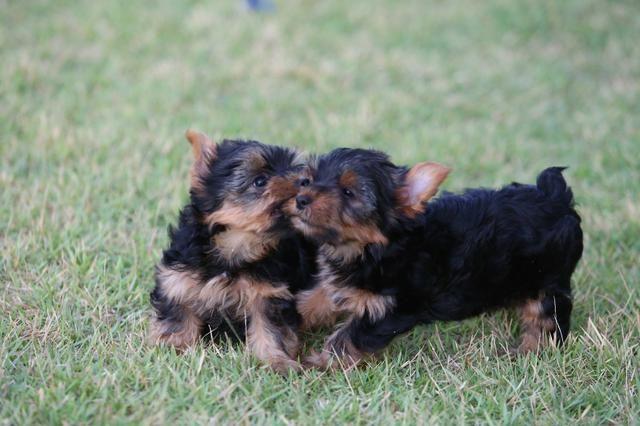 Filhotes de yorkshire terrier - Foto 2