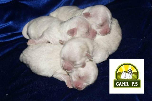 Filhotes de Maltês alta genética - Foto 3
