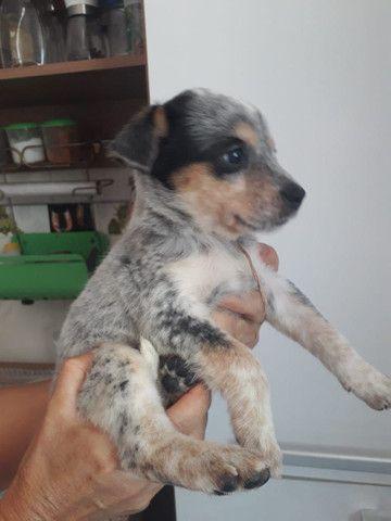 Cachorro blue heeler  - Foto 3