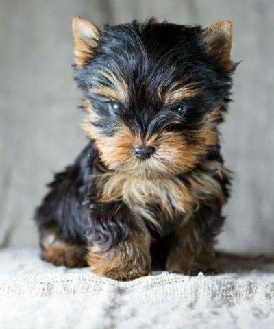 Cachorro Yorkshire - Foto 3