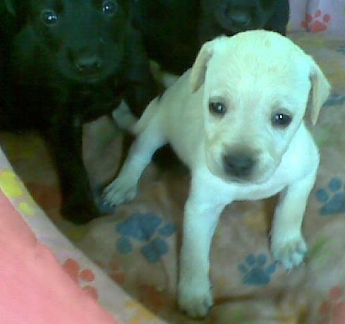 Rottweiler x labrador só 100 - Foto 5