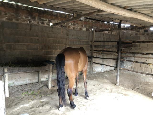 Cavalo baxeiro muito andando tenho vídeo - Foto 3
