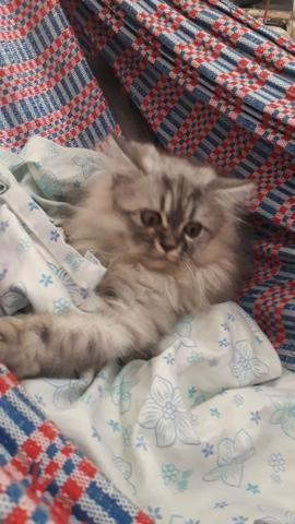 Vendo filhote de Gato Persa - Foto 3