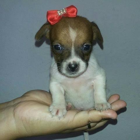 Chihuahua x pinscher só 150 - Foto 2