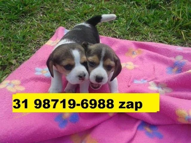 Canil Filhotes Cães Pet BH Beagle Pug Lhasa Maltês Shihtzu Poodle Yorkshire Bulldog
