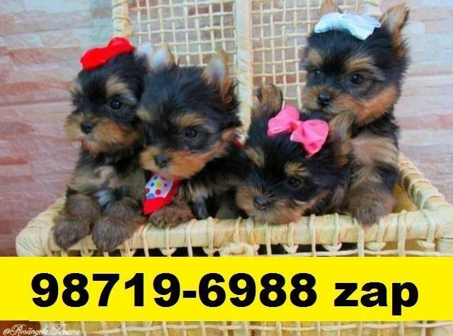 Canil Filhotes Cães Líder BH Yorkshire Maltês Poodle Lhasa Shihtzu Bulldog Pug Fox