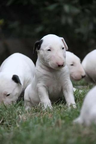 Bull Terrier Inglês, somos a unica rede com clinicas veterinarias, what's (11) 3862-3206 - Foto 2