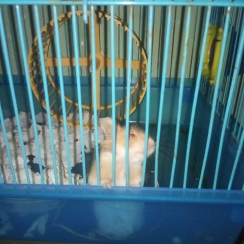 Doação de hamster - Foto 2