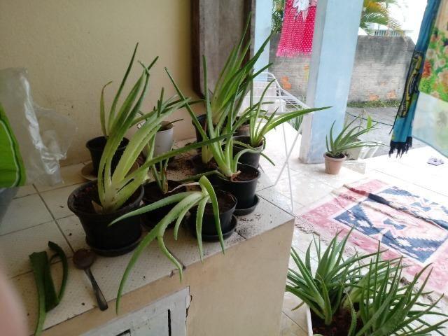 Mudas de Babosa Real- Aloe Vera R$ 100 OBS:(Já com a entrega!) - Foto 6