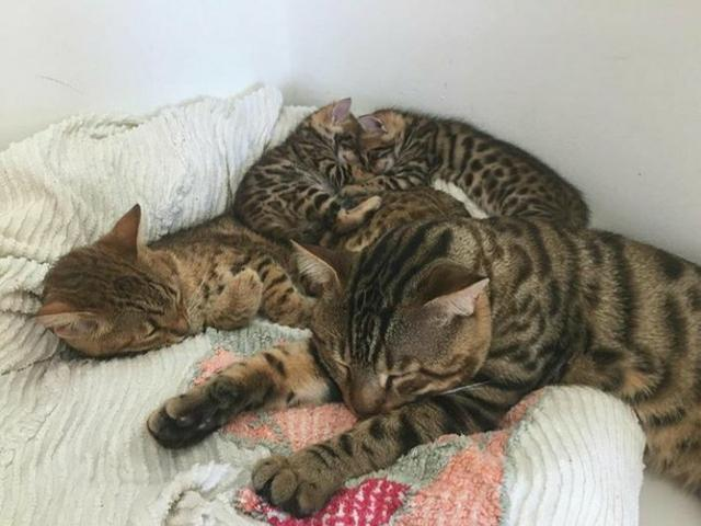 Mini onças, vendo filhote de Bengal o gato de bengala - Foto 3