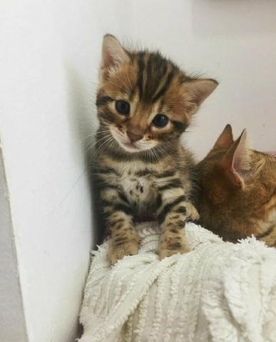 Mini onças, vendo filhote de Bengal o gato de bengala
