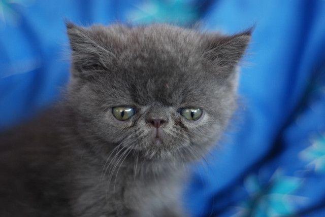 Lindo Filhote Persa exótico Blue