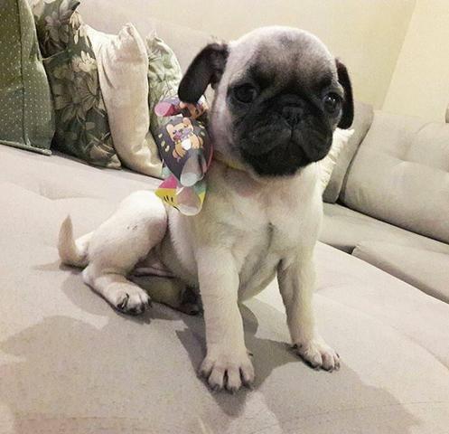 Pug fêmea c pedigree