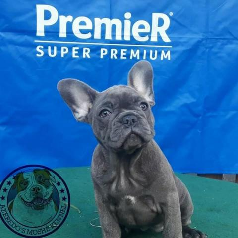 959812591204f Bulldog Francês - Cachorros - Paraíso