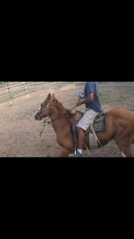 Cavalo marchador 3,500,00 - Foto 5