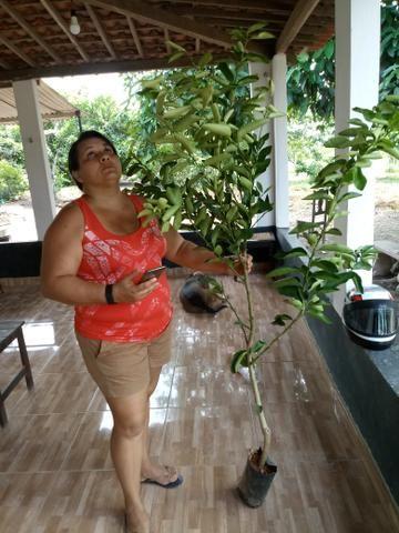 Mudas de Limão Tahiti Enxertado - Foto 2