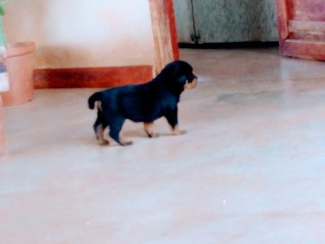 Filhotes de Rottweiler - Foto 4