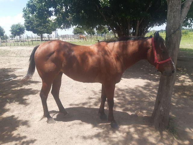 Cavalo de esteira a venda 7mil