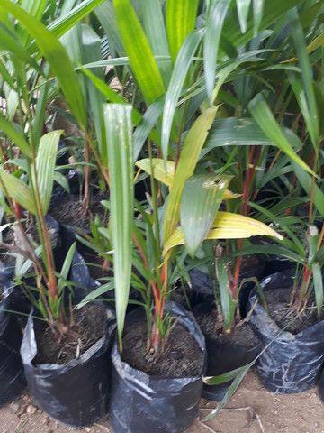 Palmeira laca Vermelha  - Foto 2