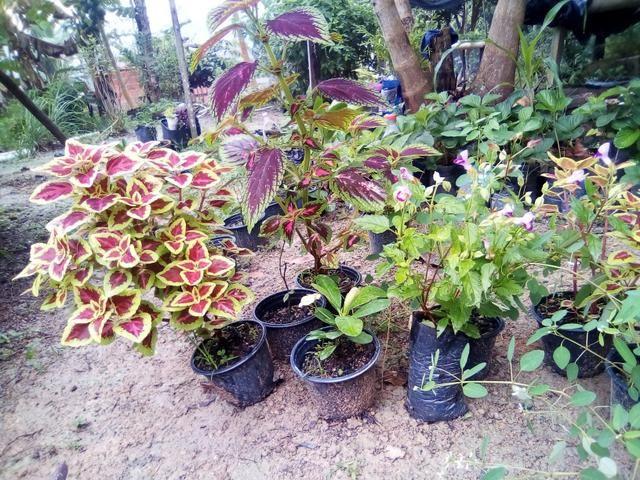 Mudas para jardim - Foto 3