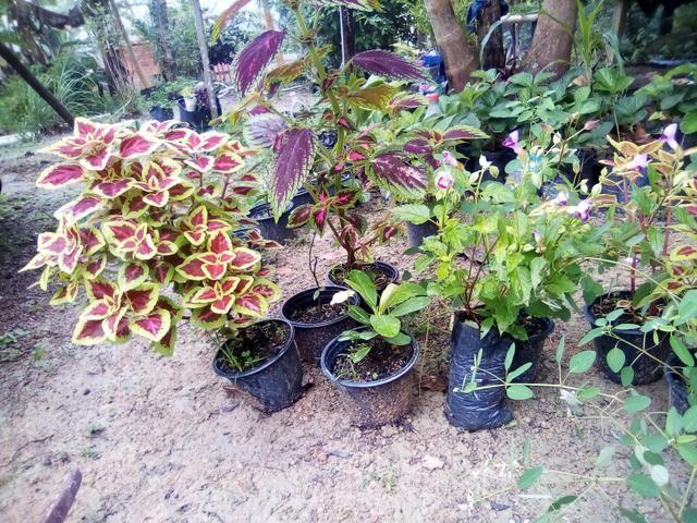 Mudas para jardim - Foto 4