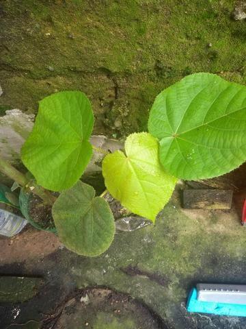 Astrapeia (Dombeya wallichii) R$ 50,00; R$ 30 ou R$ 12,00 - Foto 2