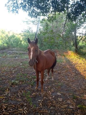 Vendo ou troco uma égua muito boa - Foto 3