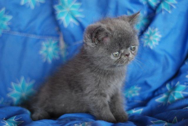 Lindo Filhote Persa exótico Blue - Foto 5