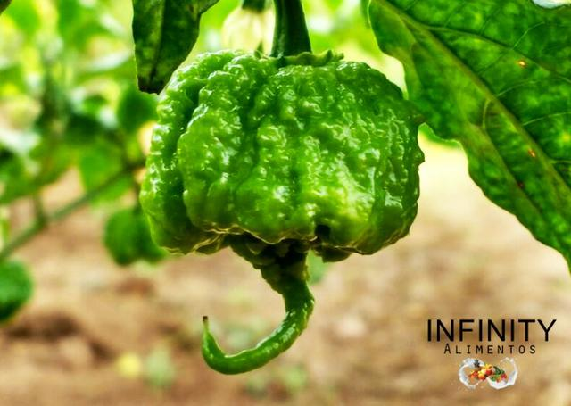Carolina Reaper a pimenta mais ardida do mundo! - Foto 5