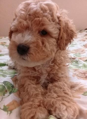 Poodle número 1 - Foto 2