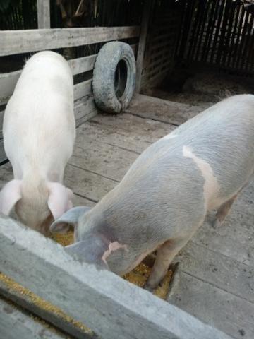 2 Porcos Caipira