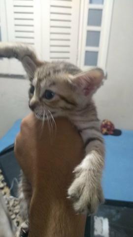 Doação gata femea mestiça - Foto 3