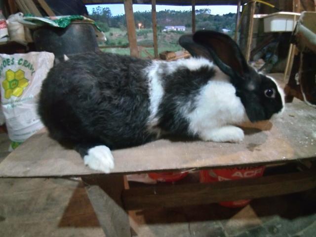 Vendo varias raças de coelhos - Foto 2