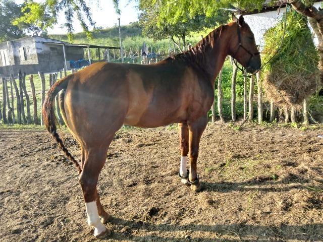 Cobertura (não estou vendendo o cavalo é apenas a cruza) - Foto 4