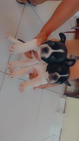 Bulldog Frances filhotes! - Foto 3